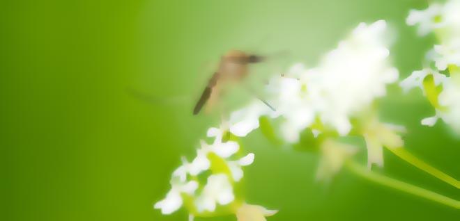 Myggbett allergi